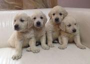 продаем щенков золотистого ретривера